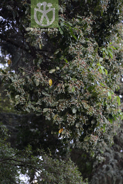 Machilus longipedicellata