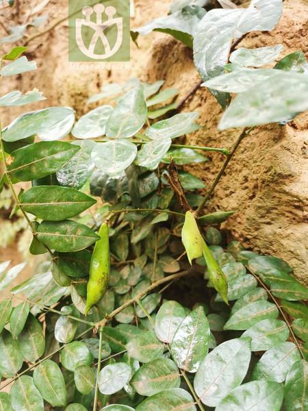 Euchresta japonica