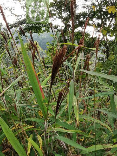 Byttneria integrifolia