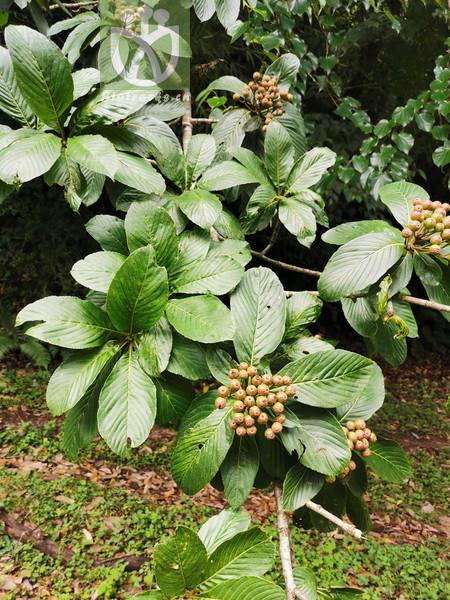 Acacia costata