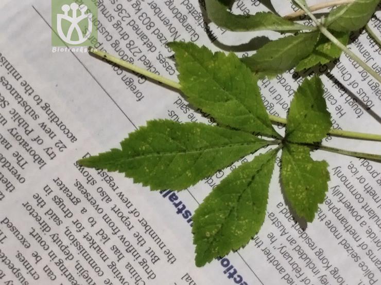 Acacia echinula