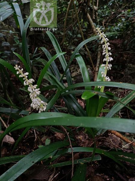 Pleiarina dealbata