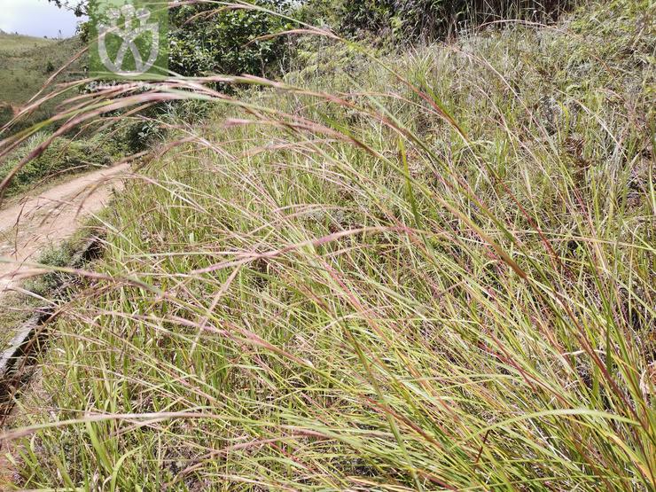 Salix paraplesia f. lanceolata
