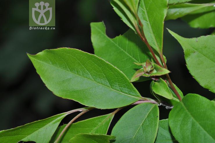 Stewartia yunnanensis
