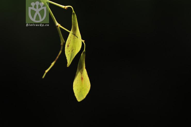 Fraxinus floribunda
