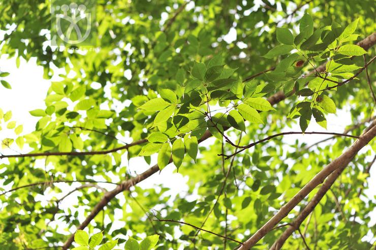 Ornus urophylla
