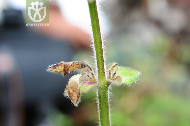 Salvia atropurpurea