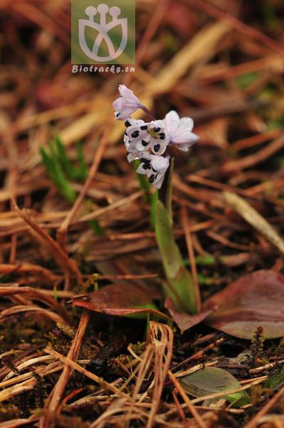 Ypsilandra yunnanensis