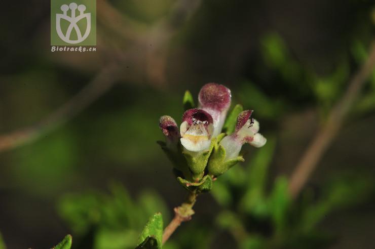 Celastrus yunnanensis