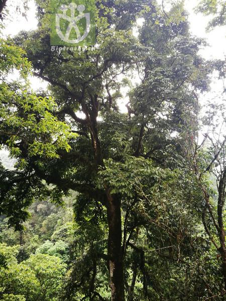 Carya sinensis