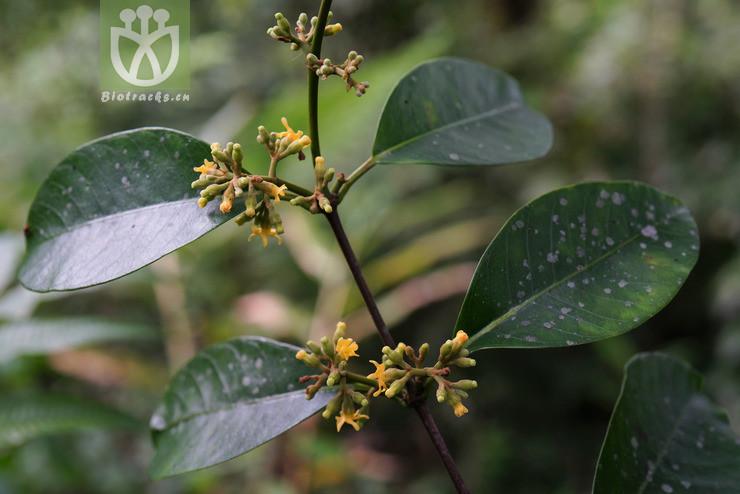 Ichnocarpus polyanthus
