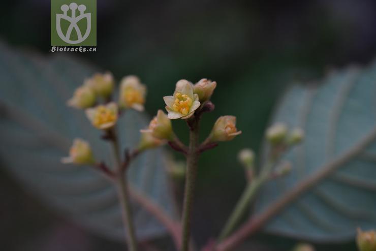 Phoebe neurantha var. brevifolia