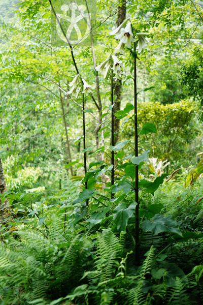 Cardiocrinum giganteum var. yunnanense
