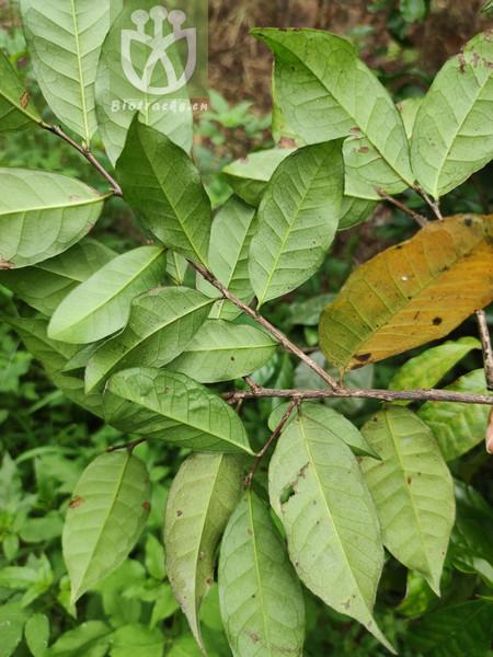 Tenorea heterophylla