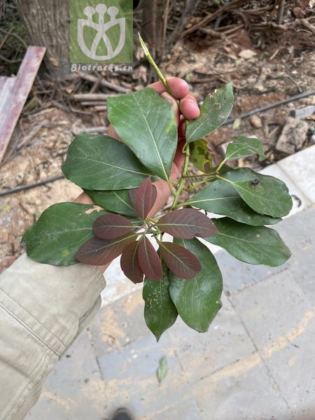 Machilus yunnanensis