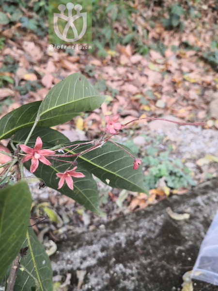 Sterculia monosperma