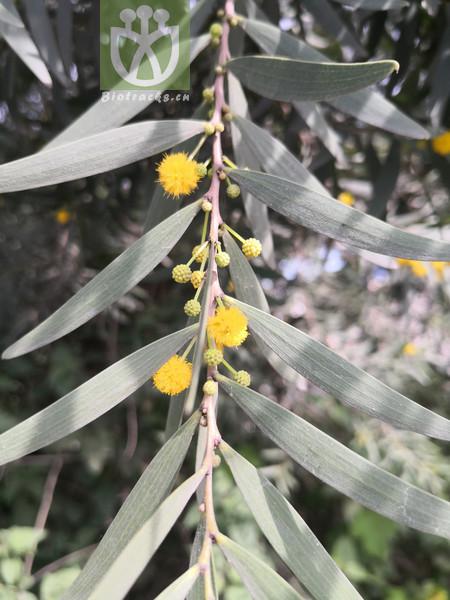 Acacia confusa