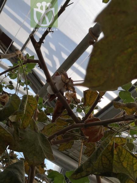 Cercocarpus hypoleucus