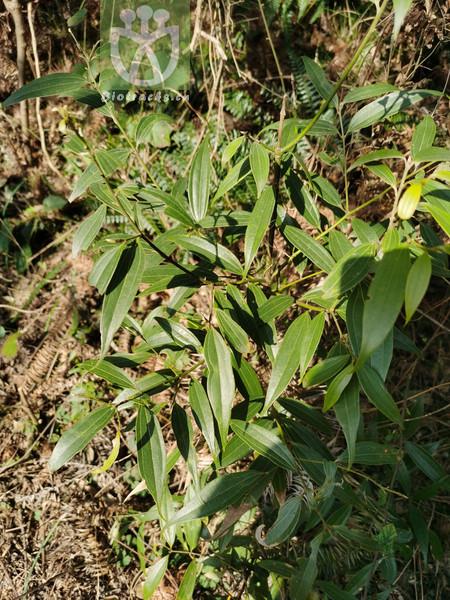 Cinnamomum glabrescens