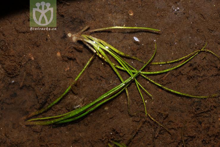 Isoetes hypsophila