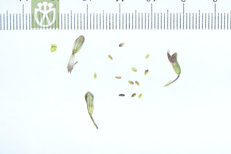 Salvia honania