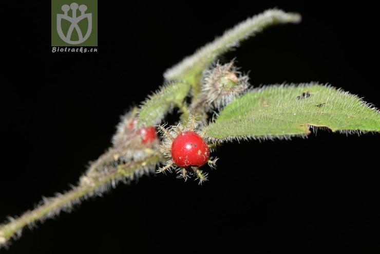Lycianthes lysimachioides var. caulorhiza