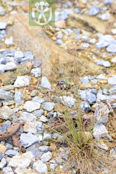 Isolepis tenuissima