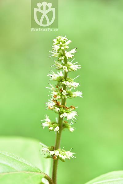 Premna racemosa
