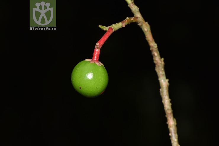 Phoebe microphylla