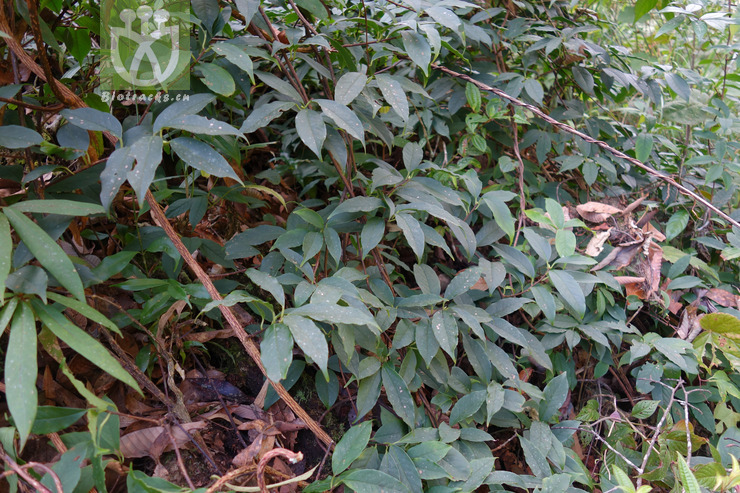 Kadsura angustifolia
