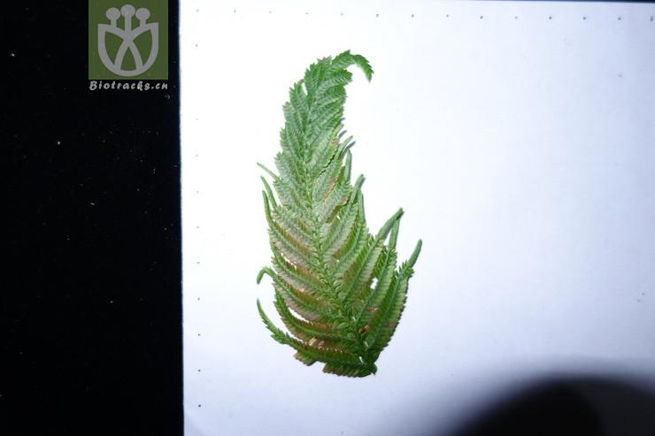 Selaginella wallichii