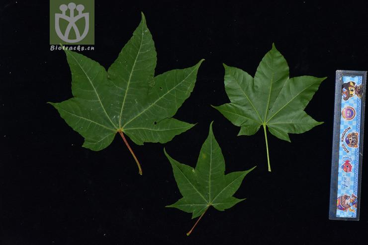 Acer sinense