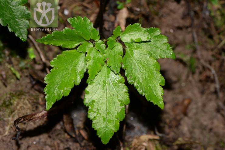 Isopyrum flaccidum