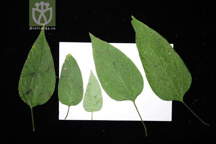Clerodendrum trichotomum var. fargesii