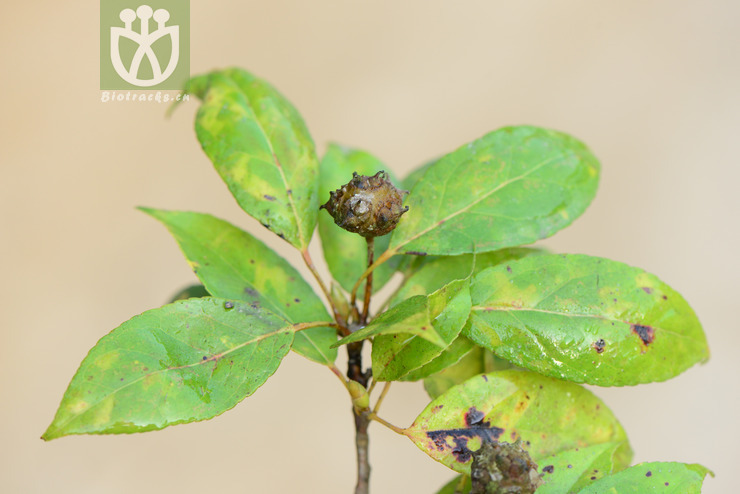 Altingia yunnanensis