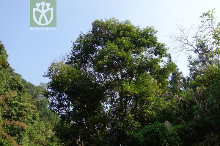 Quercus litseifolia
