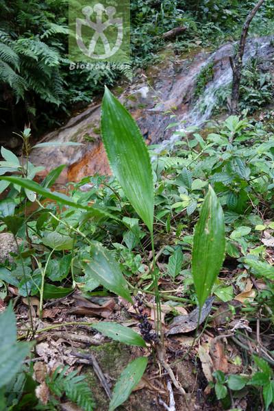 Peliosanthes yunnanensis