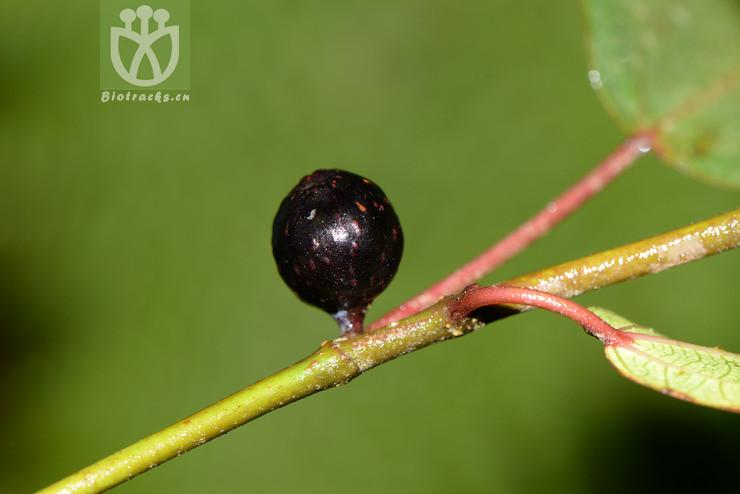 Ficus ovatifolia