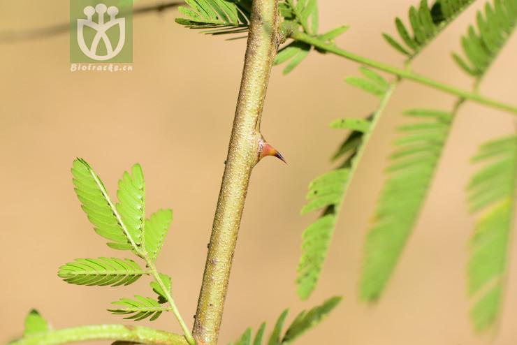 Acacia delavayi var. kunmingensis
