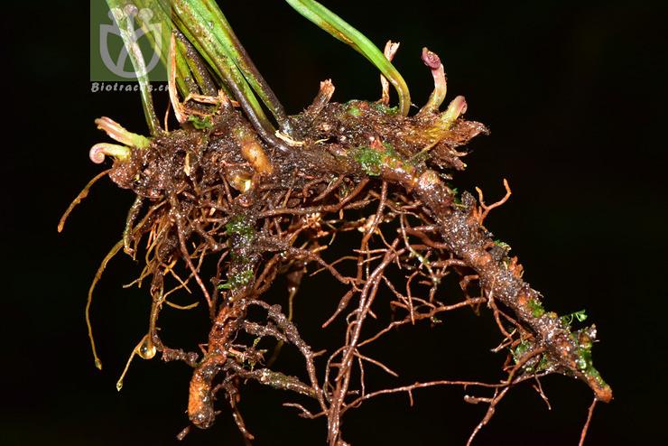Haplopteris amboinensis