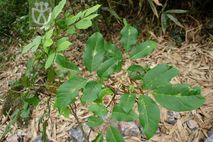 Fraxinus caudata