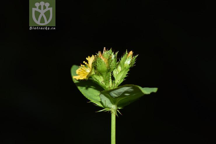 Hypericum wightianum