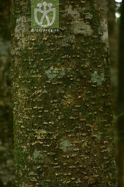 Parakmeria yunnanensis