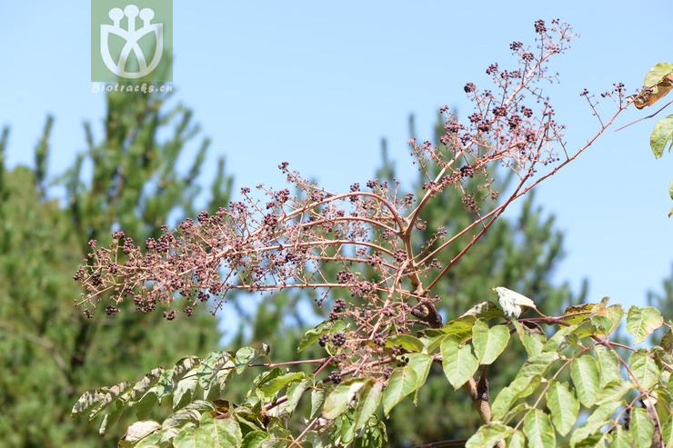 Aralia planchoniana