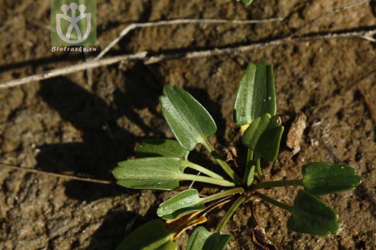 Ranunculus plantaginifolius