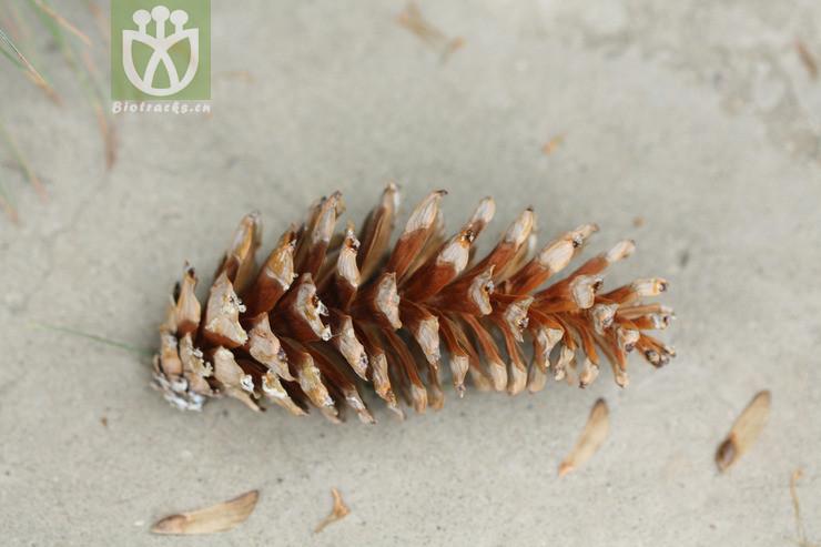 Strobus weymouthiana