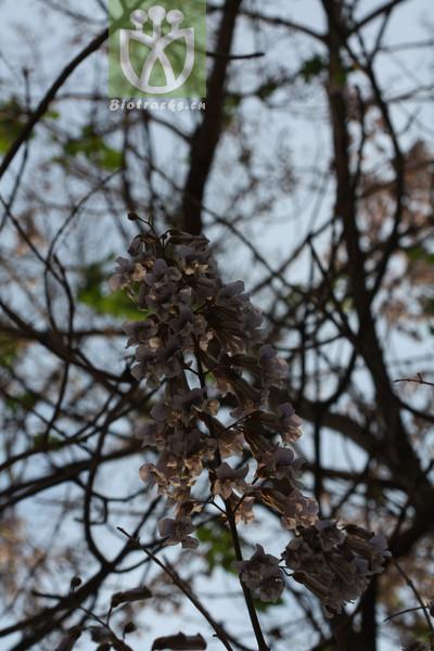Paulownia elongata
