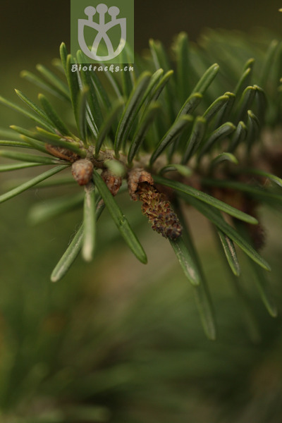 Abies sibiriconephrolepis