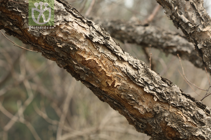 Betula schmidtii