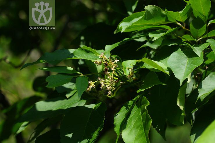 Fraxinus stenocarpa